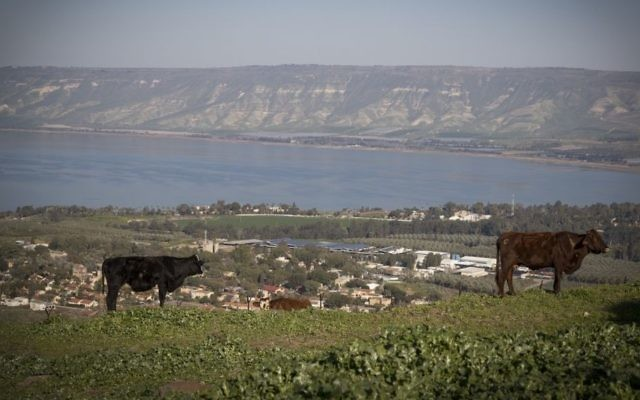 A cow stands in a field overlooking the Sea of Galilee, northern Israel, on February 18, 2017. (Nati Shohat/Flash90)