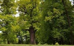 The Oak Józef, in Wiśniowa, Poland, was voted the 2017 European Tree of the Year. (Rafał Godek/TreeoftheYear.org)
