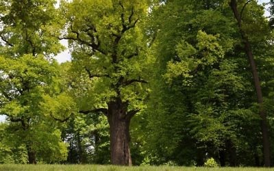 The Oak Józef, in Wiśniowa, Poland, was voted the 2017 European Tree of the Year. (Rafał Godek/TreeoftheYear.org)