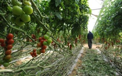 Illustrative: An undated image of a farmer in the western Negev town of Kadesh Barnea inspecting a crop of cherry tomatoes. (Gili Yaari / Flash 90)