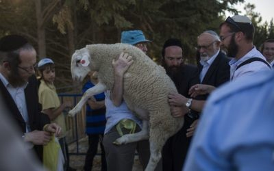 A sheep is carried for the Passover sacrifice 'practice' ceremony at Beit Orot in East Jerusalem, on April 18, 2016. (Hadas Parush/Flash90 )