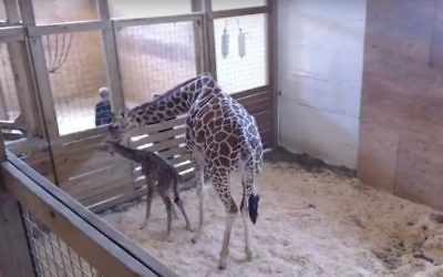 April the giraffe with her newborn baby at the zoo in Harpursville, New York, on April 15, 2017. (Screen capture: YouTube)