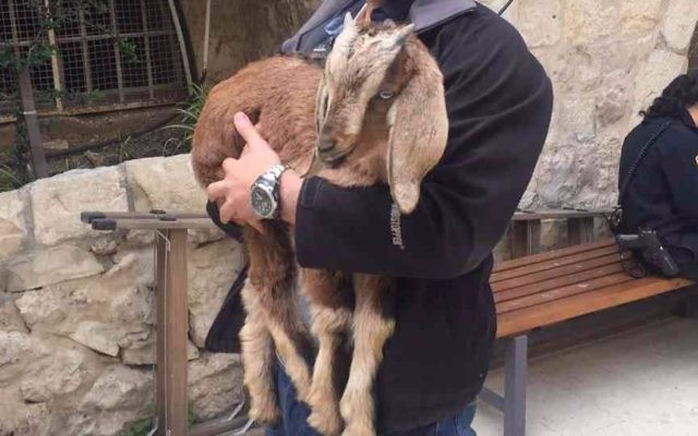 A goat rescued by police from a man who intended to slaughter it as a Biblical Passover sacrifice in the Old City of Jerusalem, April 10, 2017. (Police spokesperson)