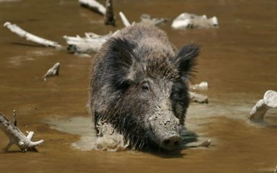 Illustrative: A wild boar. (Wikipedia/Richard Bartz/CC BY-SA 2.5)