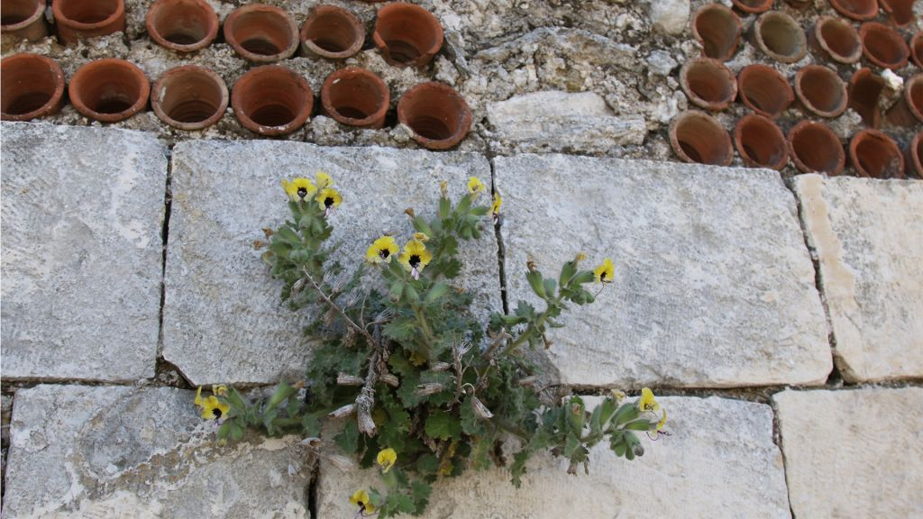 Golden henbane flowers and mashrubiye, pipes installed in the walls for ventilation. (Shmuel Bar-Am)