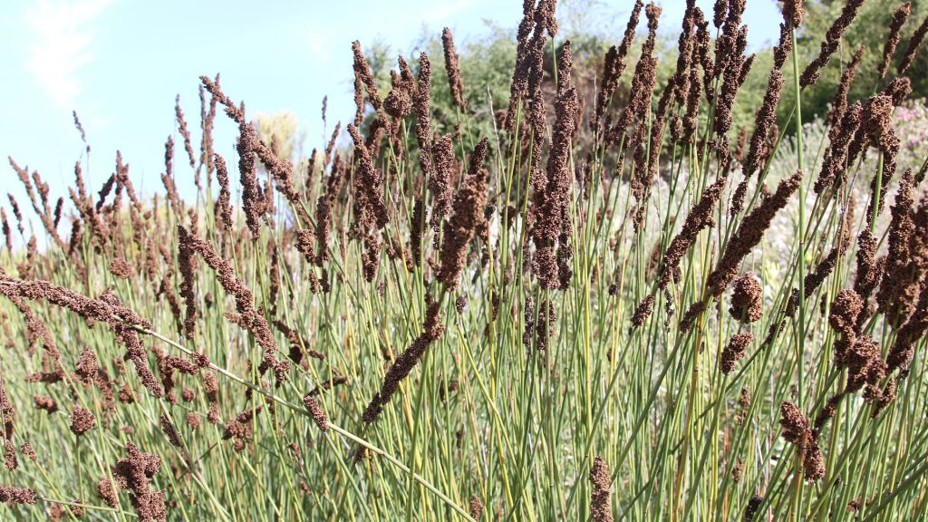 The thatching reed is native to the Cape Peninsula in South Africa. (Shmuel Bar-Am)