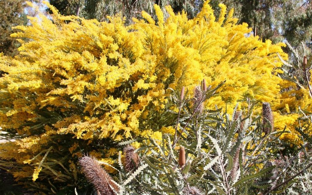 The knife-leaf wattle and banksia plants are native to Australia. (Shmuel Bar-Am)