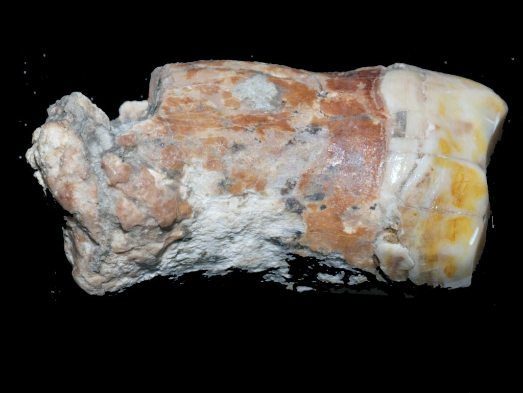 The Neanderthal tooth found at 'Ein Qashish, on the banks of the Qishon stream in northern Israel. (Erella Hovers, courtesy of the Hebrew University of Jerusalem)