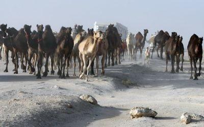 Qatari men herd camels in a desert area on the Qatari side of the Abu Samrah border crossing between Saudi Arabia and Qatar on June 21, 2017. (AFP PHOTO / KARIM JAAFAR)