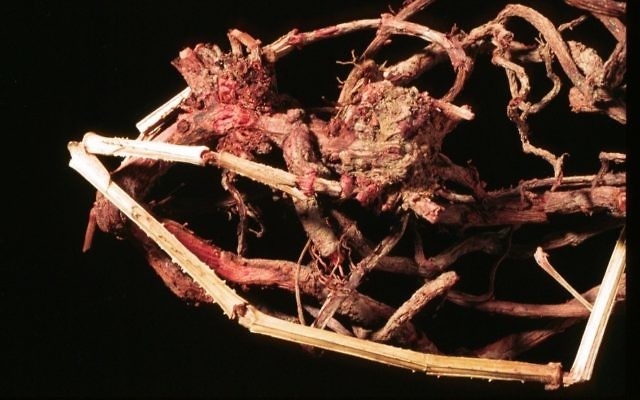 Roots of the madder plant used to produce the red pigment (Shahar Cohen, courtesy of Prof. Zohar Amar, Bar-Ilan University)