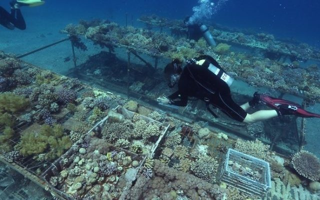 Researchers from the Interuniversity Institute for Marine Sciences in the southern Israeli resort city  of Eilat monitor coral growth while scuba diving on June 12, 2017 in the Red Sea off Eilat.  (AFP PHOTO / MENAHEM KAHANA)