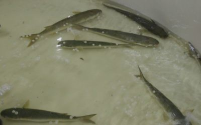 Grey Mullet swimming in Latimeira's Water Ring (Courtsy)