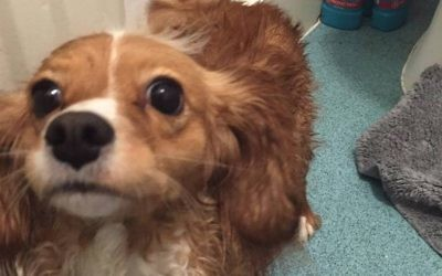 Daisy, a 3-year-old spaniel, died a hero. (GoFundMe via JTA)