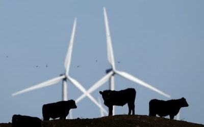 In this December 9, 2015 photo, cattle graze in a pasture against a backdrop of wind turbines, part of the 155-turbine Smoky Hill Wind Farm near Vesper, Kan. (AP Photo/Charlie Riedel, File)