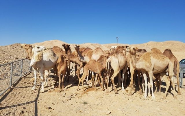 Untended camels rounded up in the south of Israel on July 9, 2017. (Agriculture Ministry)