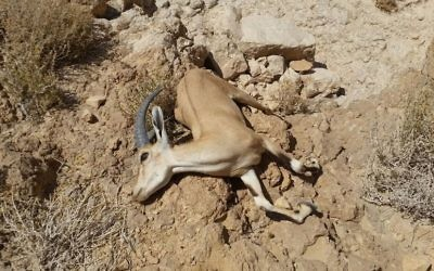 A dead ibex found near the Ashalim stream after a massive acid waste spill on June 30, 2017. (Mark Katz/Nature and Parks Authority)