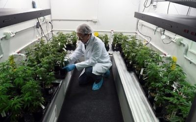 This picture taken on June 9, 2017, shows Peter Crook, chief executive of Cann group limited, examining two-months-old cannabis cuttings at an undisclosed location in Australia's Victoria state. (AFP Photo/Saeed Khan)