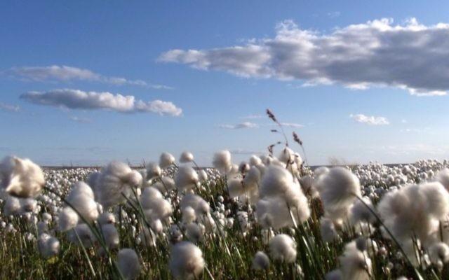 Cotton field (CC BY Mike Beauregard, Flickr)