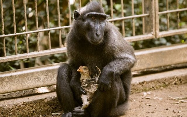 A four-year-old Indonesian black macaque named Niv holds a young chicken at the Ramat Gan Safari Park near Tel Aviv on August 25, 2017 after she adopted the bird when it wondered into their enclosure.  (Jack Guez/AFP)