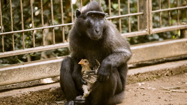 Loveless monkey adopts chicken at Israeli zoo