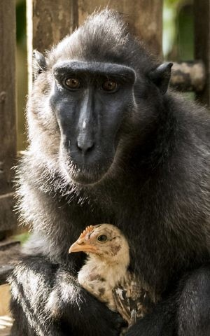 A four-year-old Indonesian black macaque named Niv holds a young chicken at the Ramat Gan Safari Park near Tel Aviv on August 25, 2017 after she adopted the chicken when it wondered into their enclosure. ( Jack Guez/AFP)