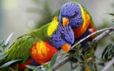 Parrots at the Jerusalem Biblical Zoo. (Miriam Alster/Flash90)