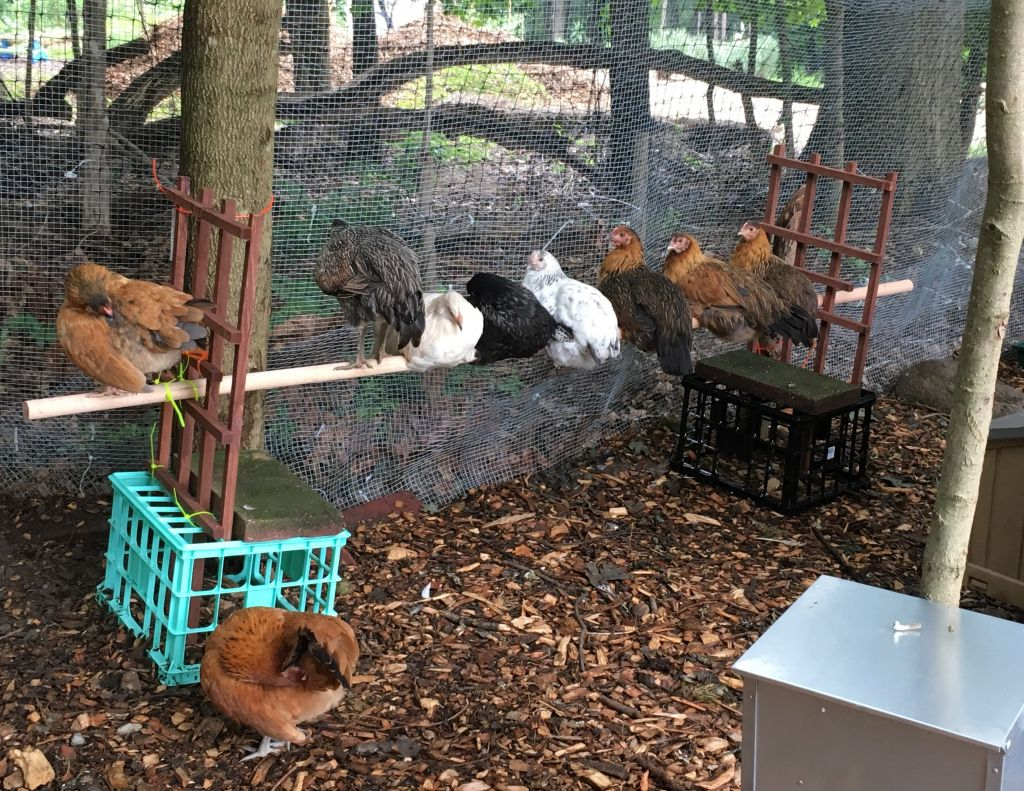 The 'minyan' of chickens at Congregation Sons of Israel farm. (Courtesy)