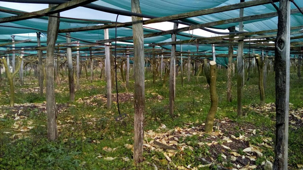 A Calabrian citron grove that has been destroyed by a January 2017 frost. (Chabad.org)
