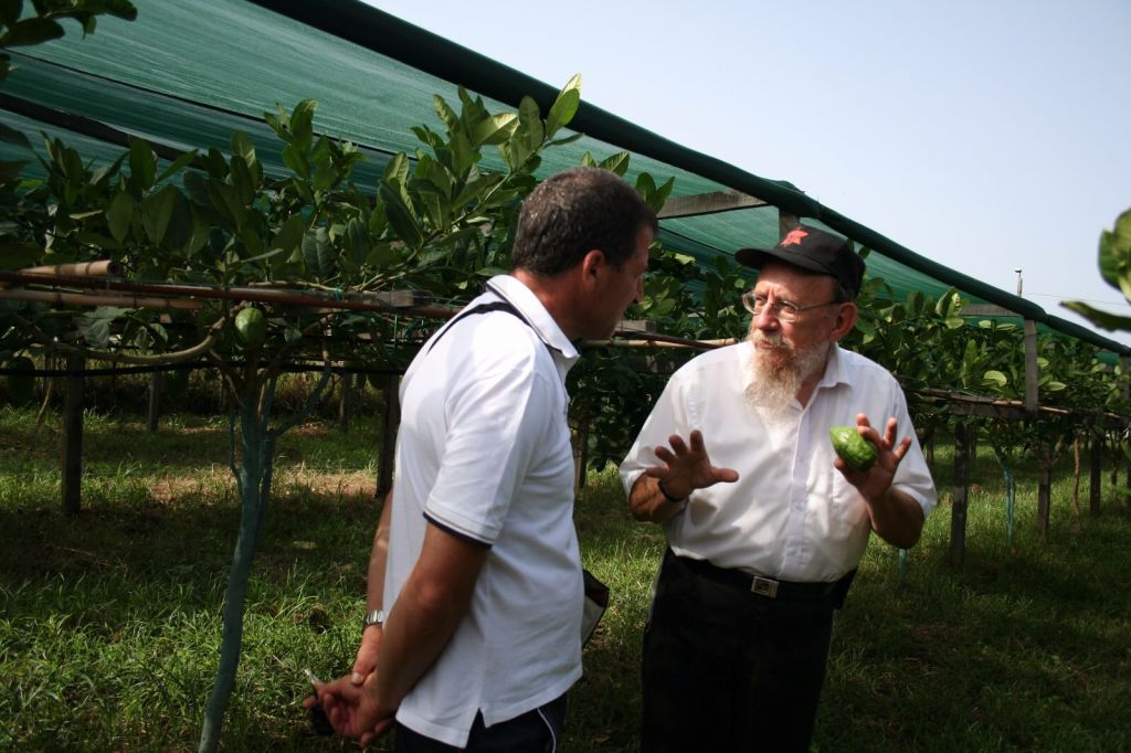 Rabbi Moshe Lazar has been doing kosher oversight of the citron harvest in Calabria, Italy, since the summer of 1964. (Photo: Esrogim.info/via Chabad.org)
