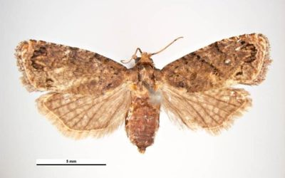 Fale codling moth / Thaumatotibia leucotreta (Simon Hinkley & Ken Walker, Museum Victoria / Wikipedia)