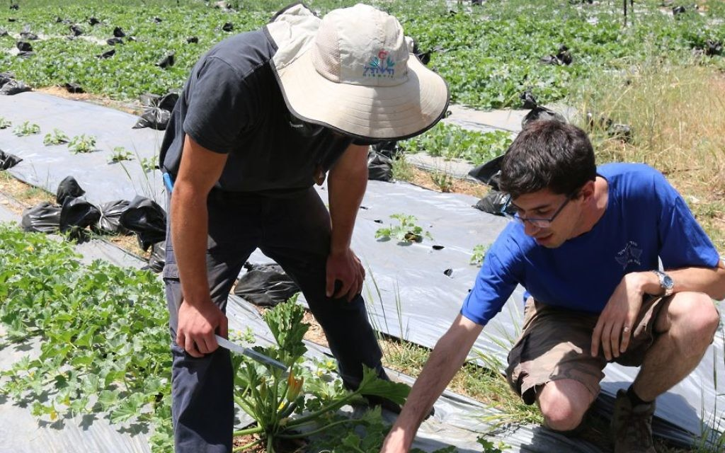 Nadav Bensusan, one of the founders of Kaima, working with zucchini in one of the organization's gardens. (Shmuel Bar-Am)