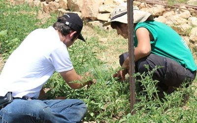 Working in Kaima's cherry tomato fields. Tomatoes and cucumbers are two of the farm's staples. (Shmuel Bar-Am)