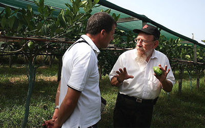 Moshe Lazar, right, explaining to a visitor at an etrog orchard in Calabria in 2015 about how to pick kosher fruit. (Esrogim.info/via JTA)