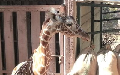 Jengo the giraffe on February 5, 2015. (photo credit: Courtesy)