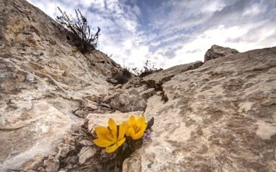 Illustrative: Fall daffodils in the Negev Desert (Mel Alexenberg)