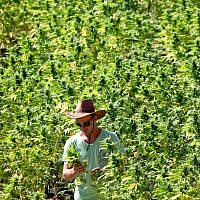 Illustrative: A worker tends to cannabis plants at a growing facility for the Tikun Olam company near Safed, August 31, 2010. (Abir Sultan/Flash90)