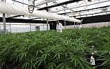 One of the greenhouses at Breath of Life Pharma near Beit Shemesh, where producers are anticipating the passage of a law that would allow them to export medical cannabis. (Courtesy)