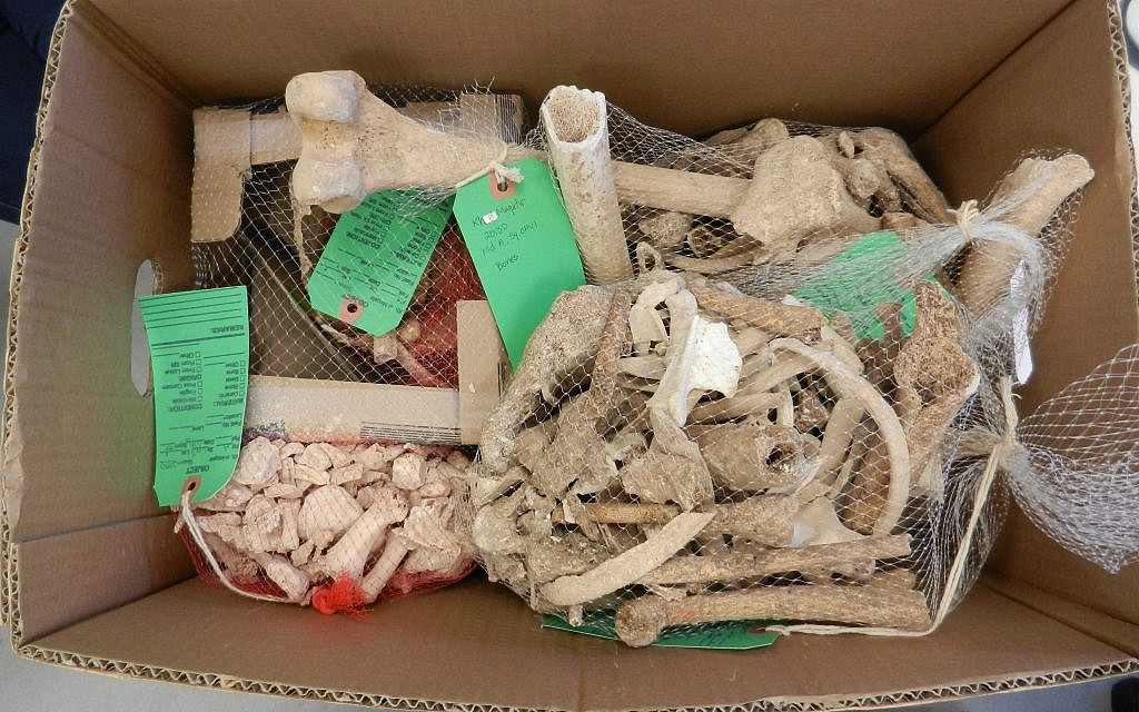 A jumble of bones found at the Khirbet el-Maqatir archaeological dig in 2013. (Steven Rudd)