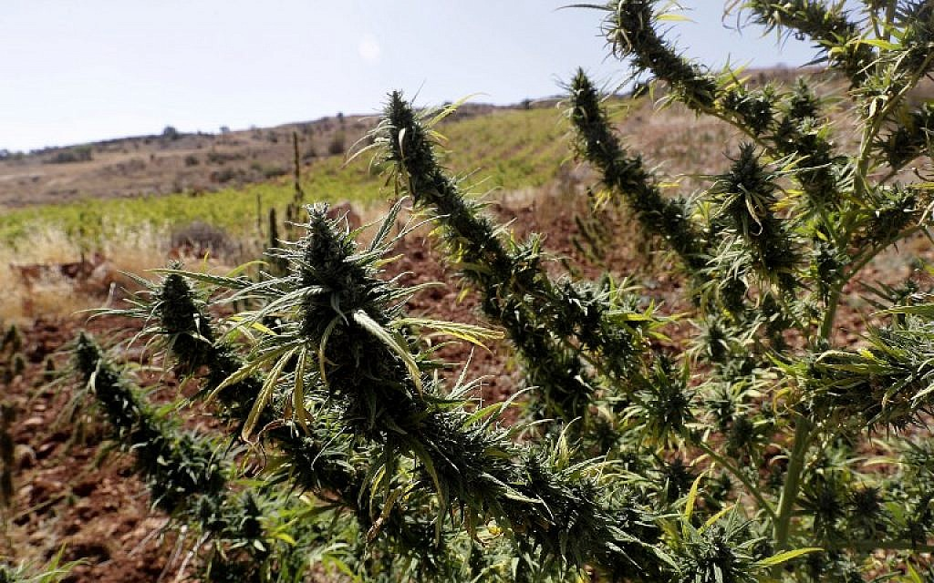 Cannabis plants is seen near a vineyard on the outskirts of Deir al-Ahmar in the Bekaa Valley, one of the poorest regions in Lebanon and notorious for its marijuana production, on October 3, 2017. (AFP Photo/Joseph Eid)