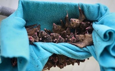 This file photo taken on June 22, 2016, shows fruit bats hanging in a cage at a bat shelter created by Israeli animal activist Nora Lifschitz in Israel's central Elah Valley, south of Beit Shemesh. (AFP Photo/Menahem Kahana)