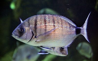 Diplodus sargus, also known as sargo, is a species of seabream at the heart of the 'biting fish' phenomenon (Marrabbio2 / Wikipedia)