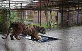 In this image released on Tuesday Oct. 17, 2017, by Four Paws, shows one of two Aleppo tigers taking a bath at Felida Big Cat center Nijeberkoop, Netherlands. (Jeanine Noordermeer, Four Paws via AP)