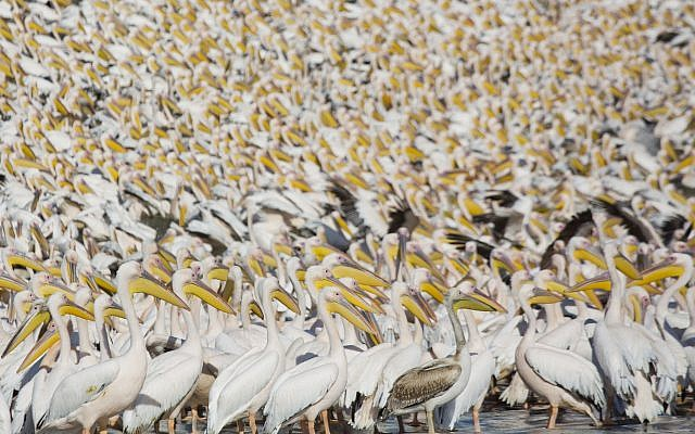 Great White Pelicans gather in Mishmar HaSharon reservoir in Hefer Valley, Israel, to catch food, October 18, 2017. (AP Photo/Ariel Schalit)