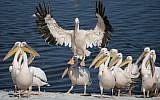 In this photo taken on Sunday, October 15, 2017, a Great White Pelican prepares to land in Mishmar HaSharon reservoir in Hefer Valley, Israel. (AP Photo/Ariel Schalit)