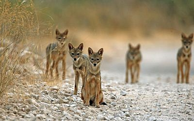 Jackals sit on a road in the mountains surrounding Jerusalem,  August 4, 2008. (Haim Shohat/Flash90)