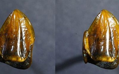 9.7 million year-old fossilized teeth found in a former bed of the Rhine river (Mainz Natural History Museum)