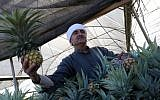 A Palestinian man holds a pineapple during a harvest at a farm in Khan Yunis, in the southern Gaza Strip on November 9, 2017. (Said Khatib/AFP)