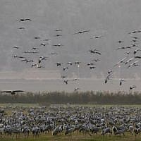 Migrating Gray Cranes at the Agmon Hula Lake in the Hula Valley in northern Israel, November 16, 2017. (AFP Photo/Menahem Kahana)
