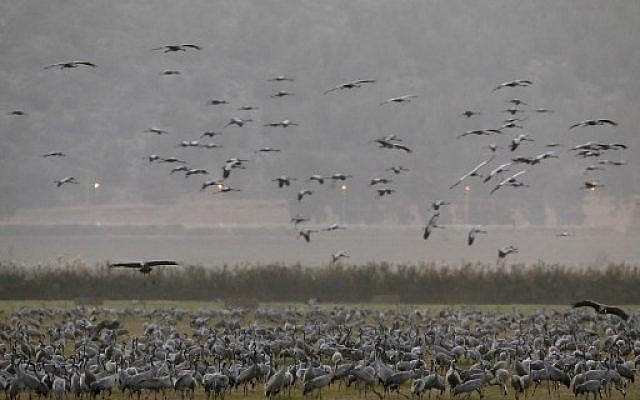 Gray Cranes at the Agamon Hula Lake in the Hula valley in northern Israel, November 16, 2017. (AFP Photo/Menahem Kahana)