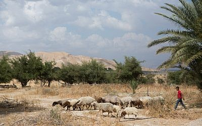 Illustrative photo of a young Palestinian boy seen walking sheep in the Jordan Valley, May 14, 2015. (Miriam Alster/FLASH90)